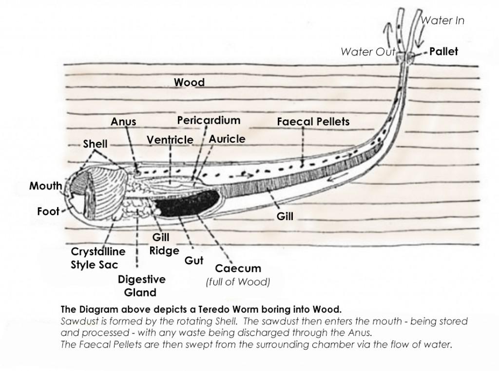 Teredo Worm Diagram