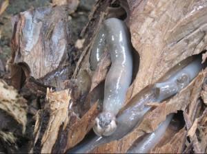 Teredo Worm Photo