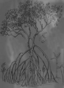 Red Mangrove 2c