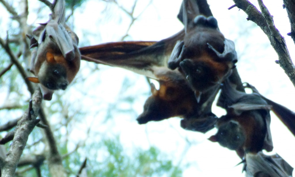 Flying Foxes of Australia